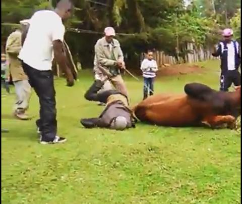 A Man fell down while he is trying to slaughter a bull